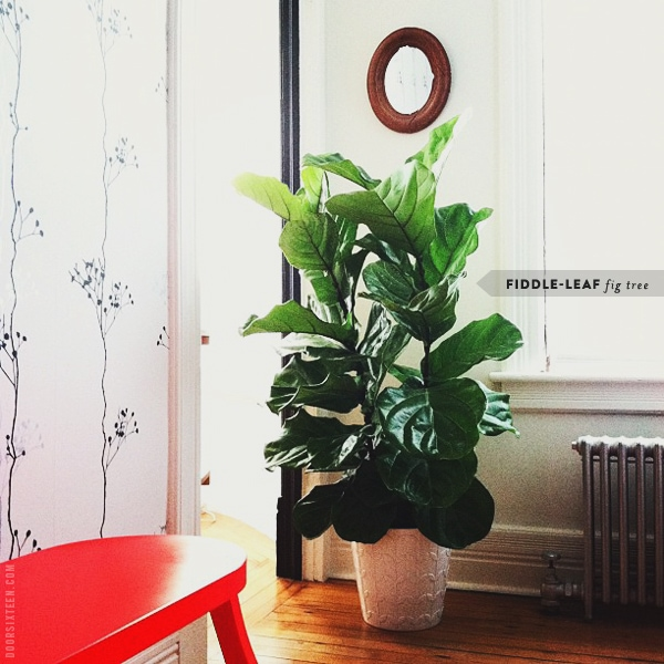 giant green nature in the dressing room - Fiddle Leaf Fig Tree Care